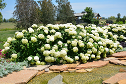 Incrediball® Hydrangea (Hydrangea arborescens 'Abetwo') at Tree Top Nursery & Landscaping