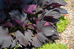 Sweet Caroline Bewitched After Midnight™ Sweet Potato Vine (Ipomoea batatas 'NCORNSP-020BWAM') at Tree Top Nursery & Landscaping