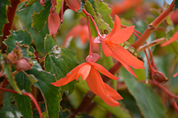 Bossa Nova® Orange Shades Begonia (Begonia boliviensis 'Bossa Nova Orange Shades') at Tree Top Nursery & Landscaping