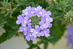 Lanai® Blue Eyes Verbena (Verbena 'Lanai Blue Eyes') at Tree Top Nursery & Landscaping