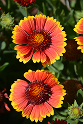 Dazzler Blanket Flower (Gaillardia x grandiflora 'Dazzler') at Tree Top Nursery & Landscaping