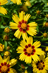Sunkiss Tickseed (Coreopsis grandiflora 'Sunkiss') at Tree Top Nursery & Landscaping