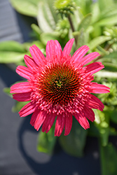 Cara Mia™ Rose Coneflower (Echinacea 'TNECHCMR') at Tree Top Nursery & Landscaping