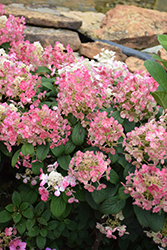 Little Quick Fire® Hydrangea (Hydrangea paniculata 'SMHPLQF') at Tree Top Nursery & Landscaping