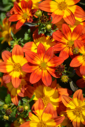 Blazing™ Fire Bidens (Bidens ferulifolia 'Blazing Fire') at Tree Top Nursery & Landscaping