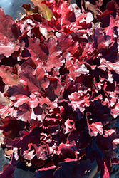 Forever® Red Coral Bells (Heuchera 'Forever Red') at Tree Top Nursery & Landscaping