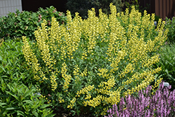 American Goldfinch False Indigo (Baptisia 'American Goldfinch') at Tree Top Nursery & Landscaping