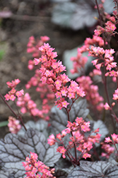 Timeless Treasure Coral Bells (Heuchera 'Timeless Treasure') at Tree Top Nursery & Landscaping