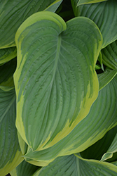 Victory Hosta (Hosta 'Victory') at Tree Top Nursery & Landscaping