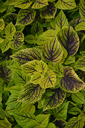 Gays Delight Coleus (Solenostemon scutellarioides 'Gays Delight') at Tree Top Nursery & Landscaping