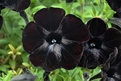 Sweetunia Black Satin Petunia (Petunia 'Sweetunia Black Satin') at Tree Top Nursery & Landscaping