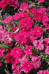 Pretty Grand Deep Pink Petunia (Petunia 'Pretty Grand Deep Pink') at Tree Top Nursery & Landscaping