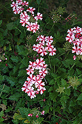 Lanai® Candy Cane Verbena (Verbena 'Lanai Candy Cane') at Tree Top Nursery & Landscaping