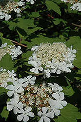 Wentworth Highbush Cranberry (Viburnum trilobum 'Wentworth') at Tree Top Nursery & Landscaping