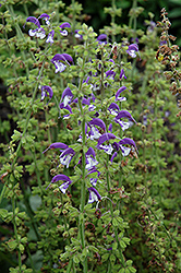 Madeline Sage (Salvia 'Madeline') at Tree Top Nursery & Landscaping