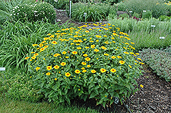 Tuscan Sun False Sunflower (Heliopsis helianthoides 'Tuscan Sun') at Tree Top Nursery & Landscaping