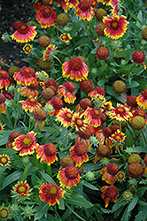 Arizona Sun Blanket Flower (Gaillardia x grandiflora 'Arizona Sun') at Tree Top Nursery & Landscaping