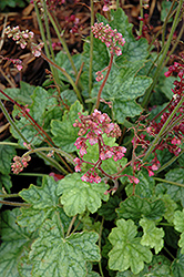 Berry Timeless Coral Bells (Heuchera 'Berry Timeless') at Tree Top Nursery & Landscaping