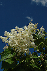 Ivory Pillar Japanese Tree Lilac (Syringa reticulata 'Willamette') at Tree Top Nursery & Landscaping