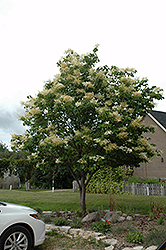 Japanese Tree Lilac (Syringa reticulata) at Tree Top Nursery & Landscaping