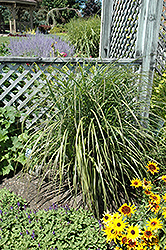 Oktoberfest Maiden Grass (Miscanthus sinensis 'Oktoberfest') at Tree Top Nursery & Landscaping