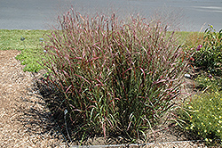 Prairie Fire Red Switch Grass (Panicum virgatum 'Prairie Fire') at Tree Top Nursery & Landscaping