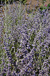 Peek-A-Blue Russian Sage (Perovskia atriplicifolia 'Peek-A-Blue') at Tree Top Nursery & Landscaping