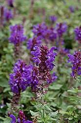 Blue Marvel Meadow Sage (Salvia nemorosa 'Blue Marvel') at Tree Top Nursery & Landscaping