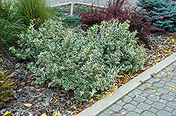 Cool Splash® Bush Honeysuckle (Diervilla sessilifolia 'LPDC Podaras') at Tree Top Nursery & Landscaping