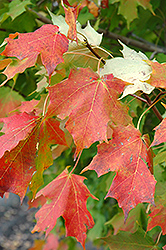 Inferno Sugar Maple (Acer saccharum 'Jeferno') at Tree Top Nursery & Landscaping