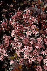Little Devil Ninebark (Physocarpus opulifolius 'Little Devil') at Tree Top Nursery & Landscaping