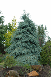 Bush's Lace Engelmann Spruce (Picea engelmannii 'Bush's Lace') at Tree Top Nursery & Landscaping