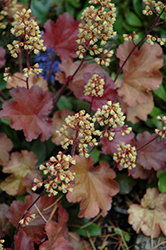Little Cuties™ Blondie Coral Bells (Heuchera 'Blondie') at Tree Top Nursery & Landscaping