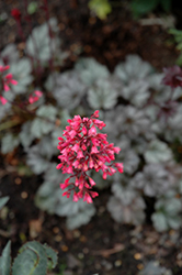 Rave On Coral Bells (Heuchera 'Rave On') at Tree Top Nursery & Landscaping