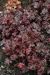 Black Taffeta Coral Bells (Heuchera 'Black Taffeta') at Tree Top Nursery & Landscaping