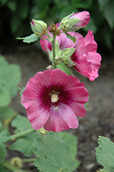 Halo Cerise Hollyhock (Alcea rosea 'Halo Cerise') at Tree Top Nursery & Landscaping
