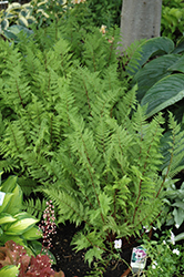 Lady in Red Fern (Athyrium filix-femina 'Lady in Red') at Tree Top Nursery & Landscaping