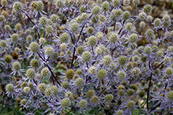 Blue Glitter Sea Holly (Eryngium planum 'Blue Glitter') at Tree Top Nursery & Landscaping