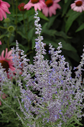 Denim 'n Lace Russian Sage (Perovskia atriplicifolia 'Denim 'n Lace') at Tree Top Nursery & Landscaping