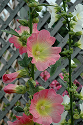 Las Vegas Hollyhock (Alcea 'Las Vegas') at Tree Top Nursery & Landscaping