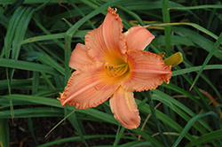 New Tangerine Twist Daylily (Hemerocallis 'New Tangerine Twist') at Tree Top Nursery & Landscaping
