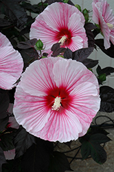 Starry Starry Night Hibiscus (Hibiscus 'Starry Starry Night') at Tree Top Nursery & Landscaping