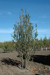 Green Spires Peashrub (Caragana arborescens 'Jefarb') at Tree Top Nursery & Landscaping