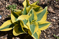Autumn Frost Hosta (Hosta 'Autumn Frost') at Tree Top Nursery & Landscaping