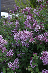 Bloomerang® Lilac (Syringa 'Bloomerang') at Tree Top Nursery & Landscaping
