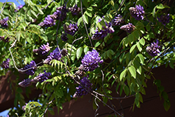 Blue Moon Wisteria (Wisteria macrostachya 'Blue Moon') at Tree Top Nursery & Landscaping