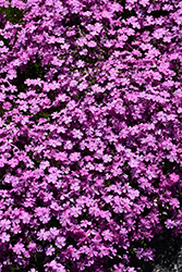 Emerald Pink Moss Phlox (Phlox subulata 'Emerald Pink') at Tree Top Nursery & Landscaping