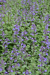 Blue Wonder Catmint (Nepeta x faassenii 'Blue Wonder') at Tree Top Nursery & Landscaping