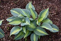 Touch Of Class Hosta (Hosta 'Touch Of Class') at Tree Top Nursery & Landscaping