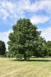 Swamp White Oak (Quercus bicolor) at Tree Top Nursery & Landscaping